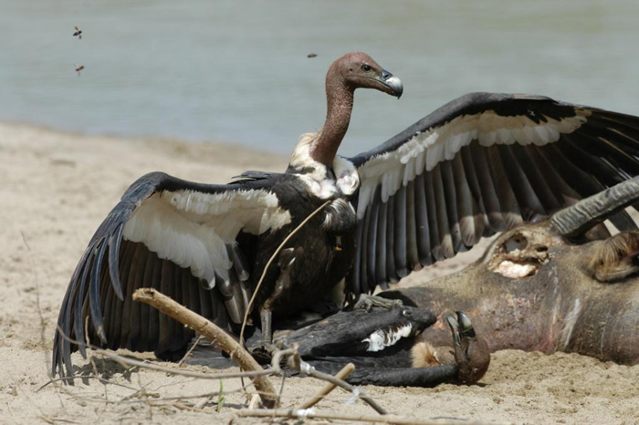 Indian White rumped vulture