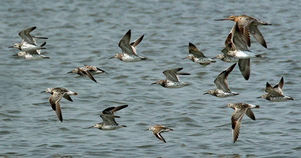 The Bar Tailed Godwit Bird Navigation System