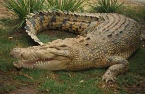 Crocodiles at iSimangaliso Wetland Park